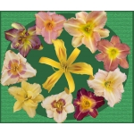 Early Bird Daylily Collection