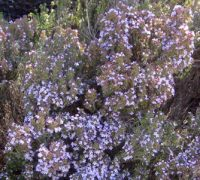 Thymus Rose Williams